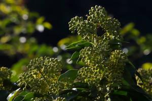 Ivy Flowering