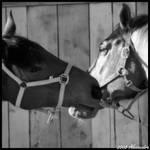 horses love ..... by OrazioFlacco