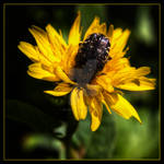 what's on the yellow flower by OrazioFlacco