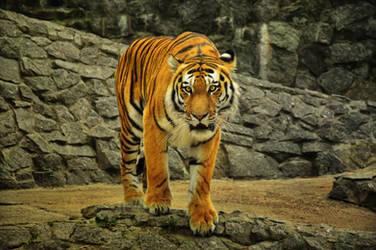 Amur tiger by Zaratra