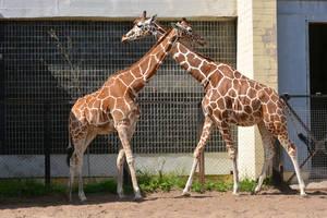 Giraffes by Zaratra