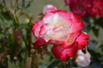 rose 7545 by Zaratra