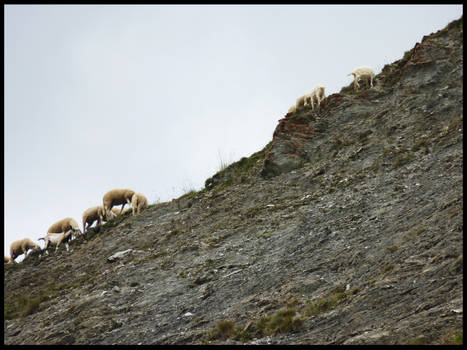 Sheepishly near...