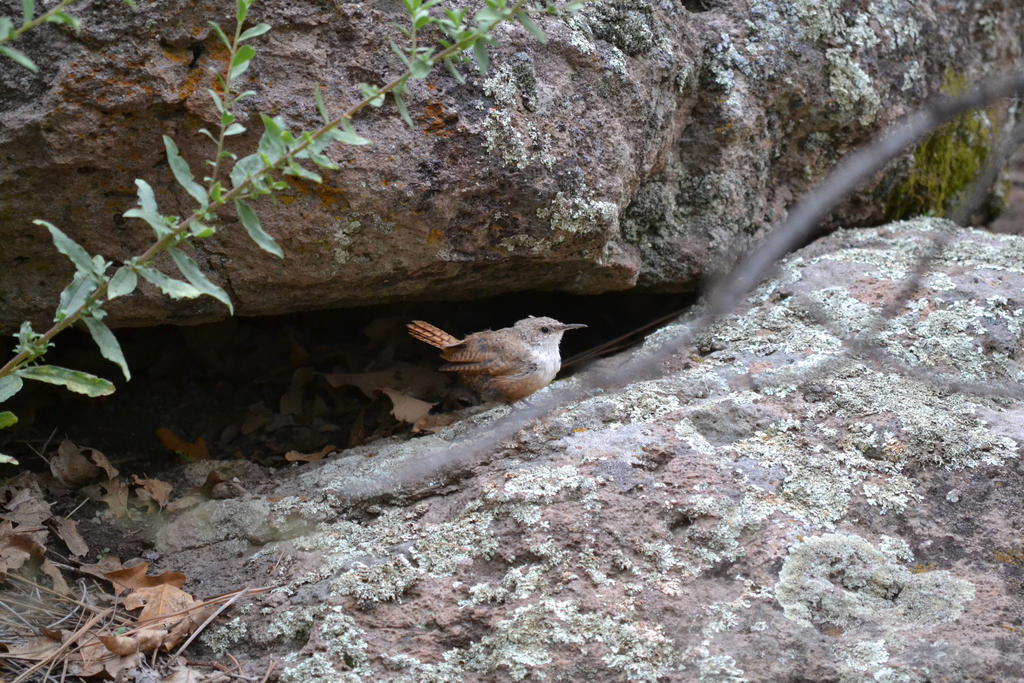 Rock Wren by Odnoder
