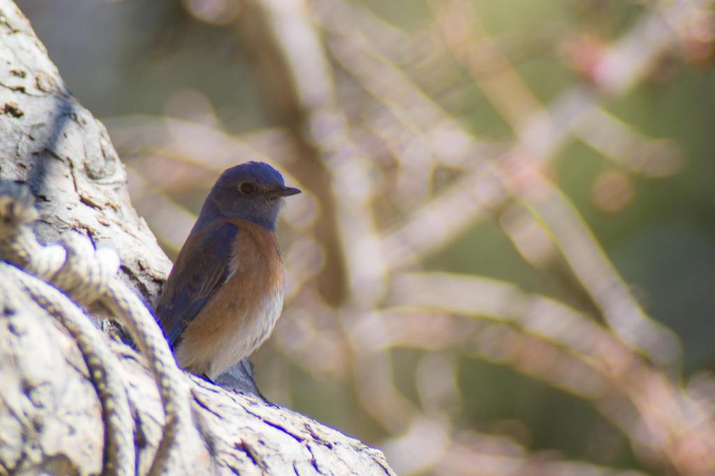 Western Bluebird by Odnoder