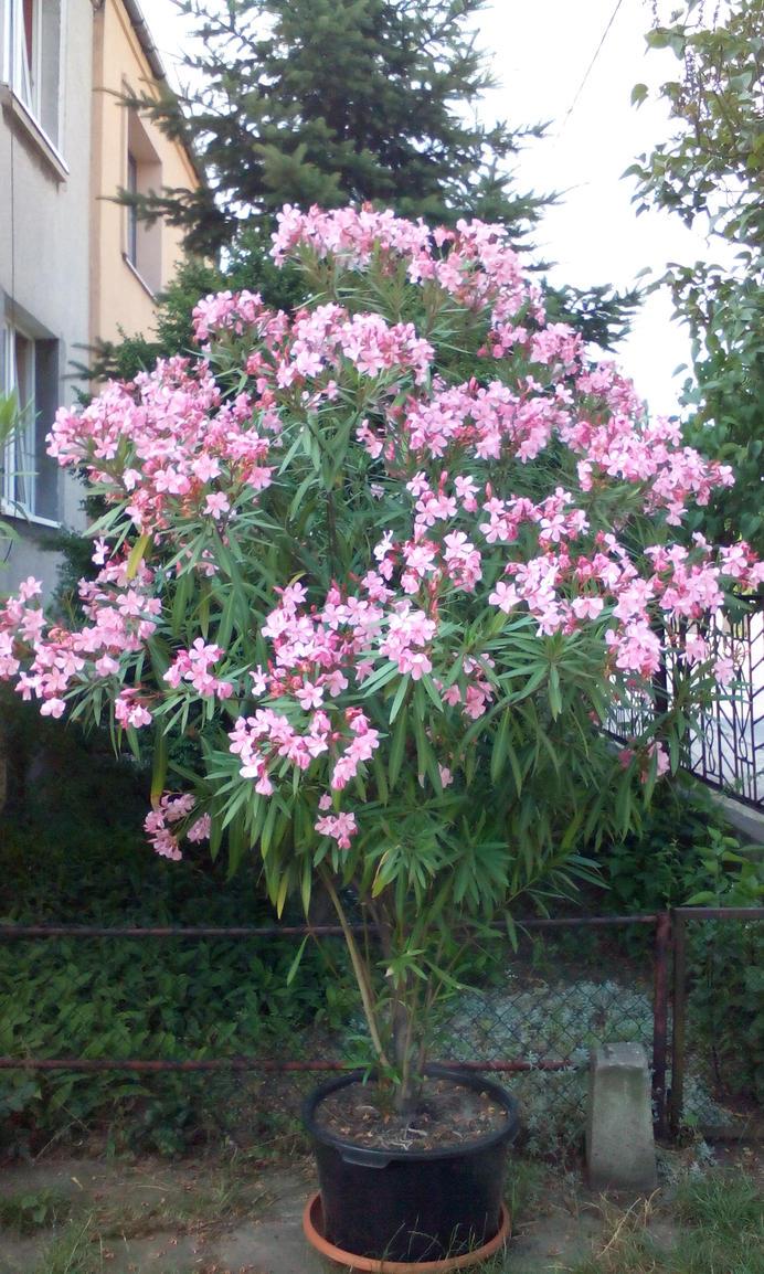 oleander by KatsuChan14
