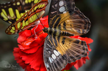 Butterfly II by sarahbuhr