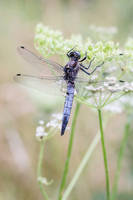 Dragonfly by sarahbuhr