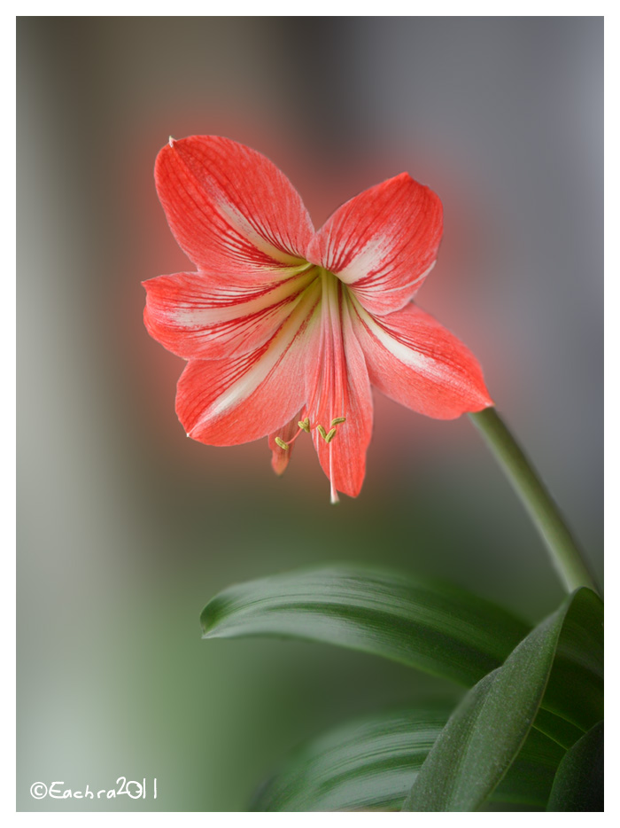 Gippeastrum by Eachra