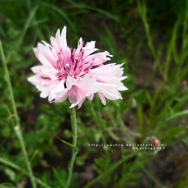 Pink Cornflower by Eachra