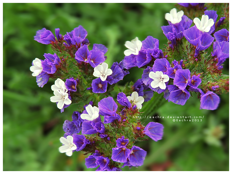 Purple Limonium by Eachra
