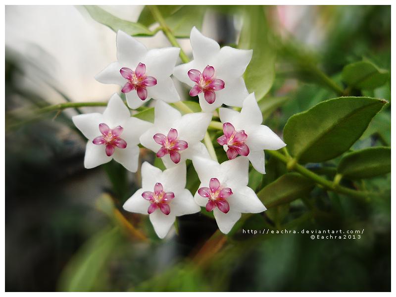 Hoya by Eachra