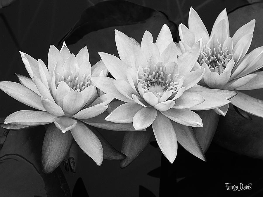 Lotus in black and white by tanyadavisart