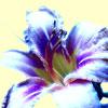 Lily by queeniolanthe