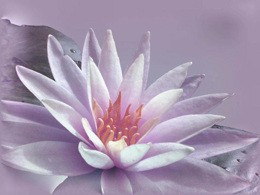 water lily by queeniolanthe
