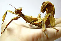 Spinyleaf Insect - DMDesigns by Duskmoth