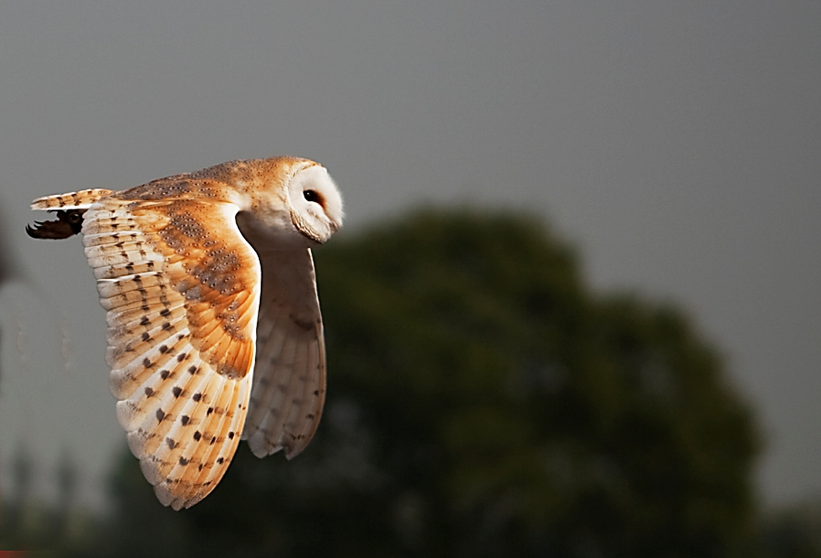 Barn Owl by outspan4888