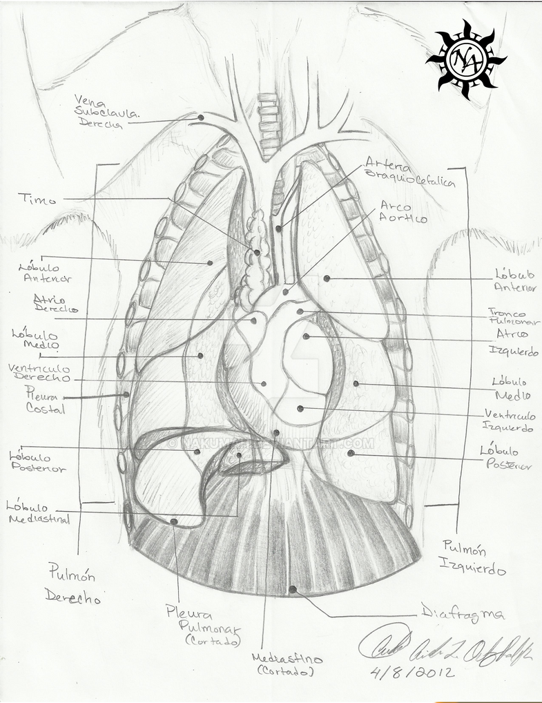 thoracic cavity  cat anatomy  by nakumah on deviantart