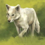 Walking White Wolf - SpeedPaint