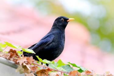 Blackbird on rooftop