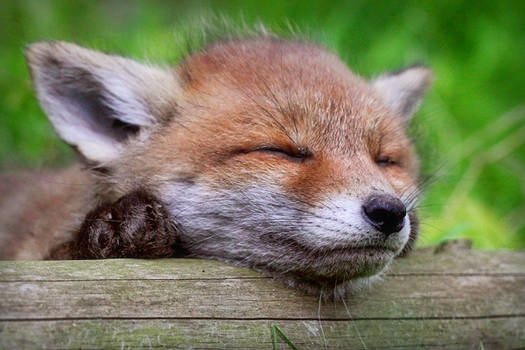 Sleeping fox cub