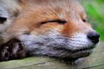 Fox cub sleeping