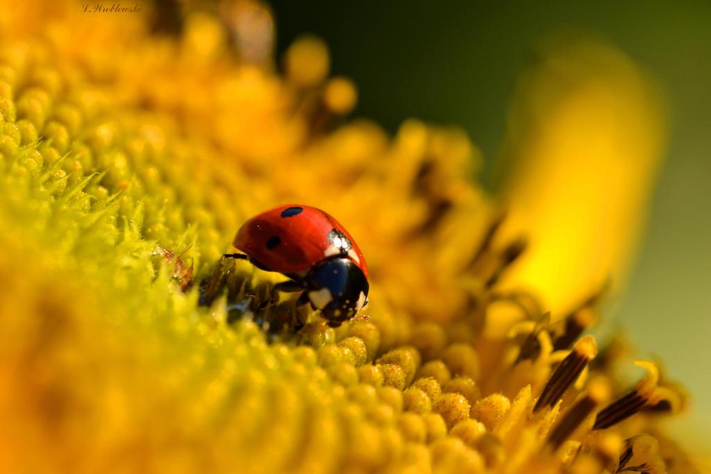 Ladybug on a Sunflower by Sayuji