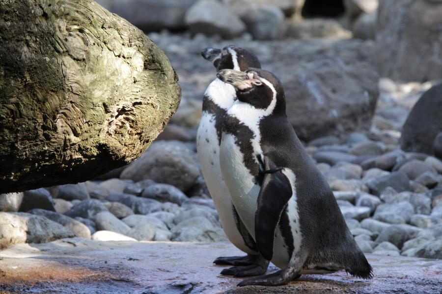 Penguin 4 by almudena-stock