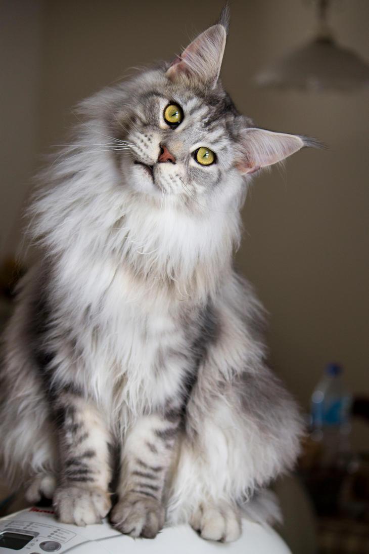 Goliath the Maine Coon by Rapunzinette