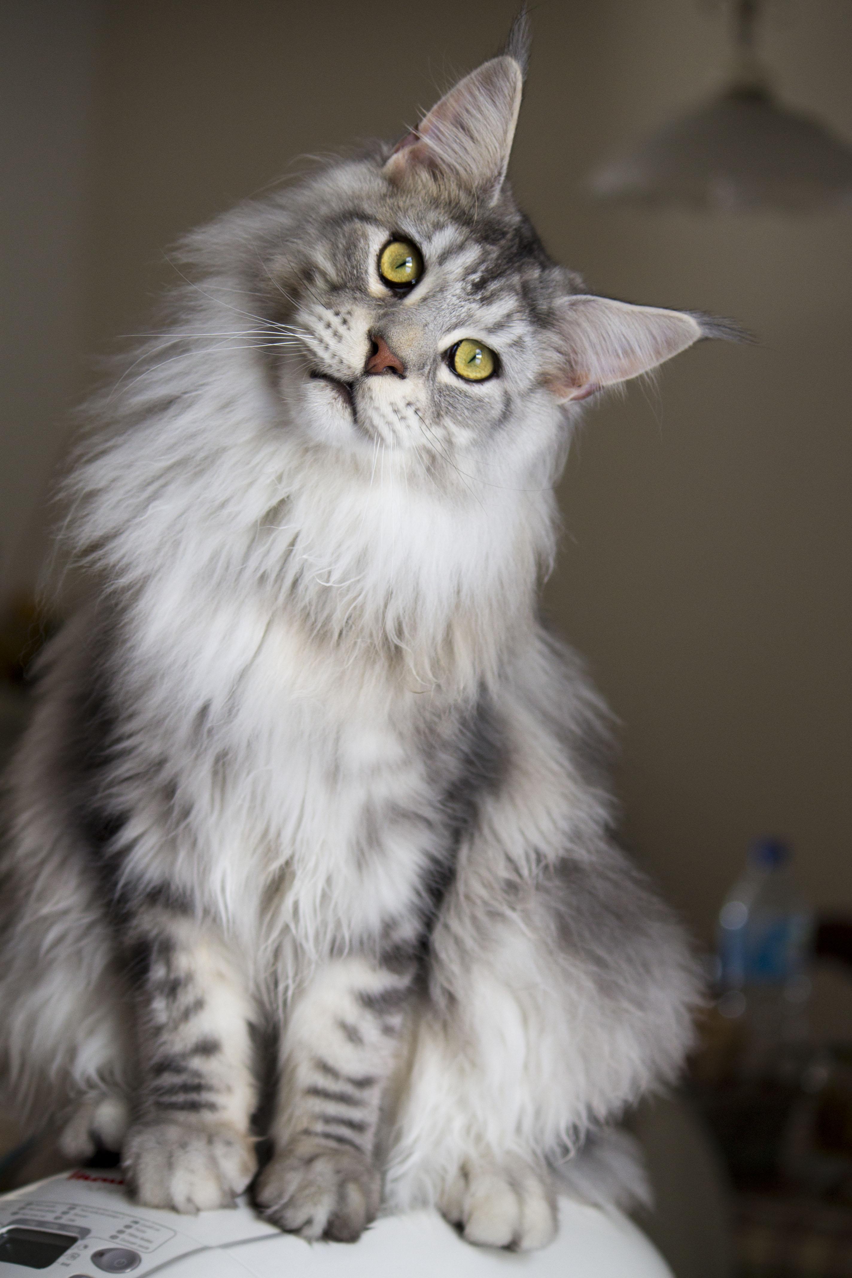 grey cat breeds cats types. Black Bedroom Furniture Sets. Home Design Ideas