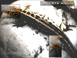 Lacerta Agilis by Black-Pixel