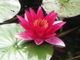 Water lily by Kiwi29
