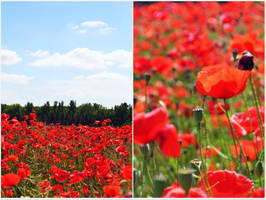 Red poppies... by Kiwi29