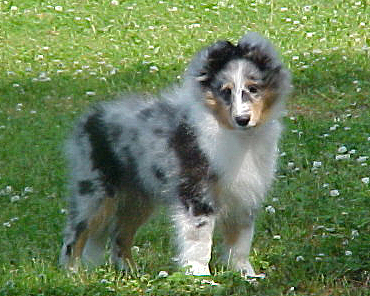 Sheltie Puppy-Blue Merle Boy by Victorina