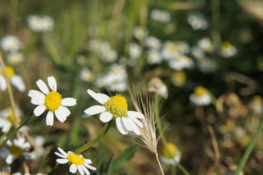 Daisies by Ste2004