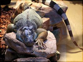 iguana by cthulhu-cultist