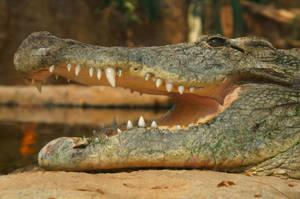 Crocodile by Frederik82