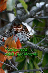 Fox Sparrow 2