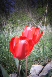 Tulip Times Two