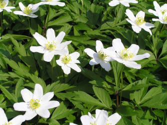 Anemone by khetra