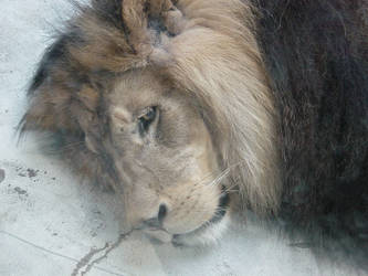 Berber Lion behind dirty glass