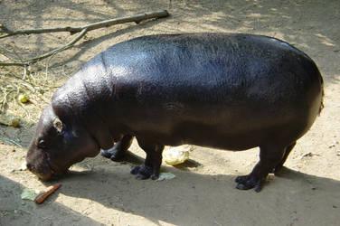 hypopotamus