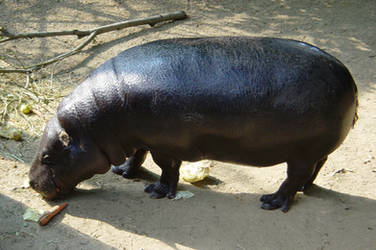 hypopotamus by overdrive
