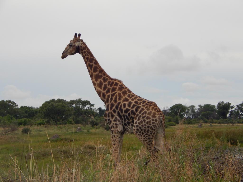 Giraffe by Trapanzemia