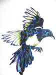 European Magpie