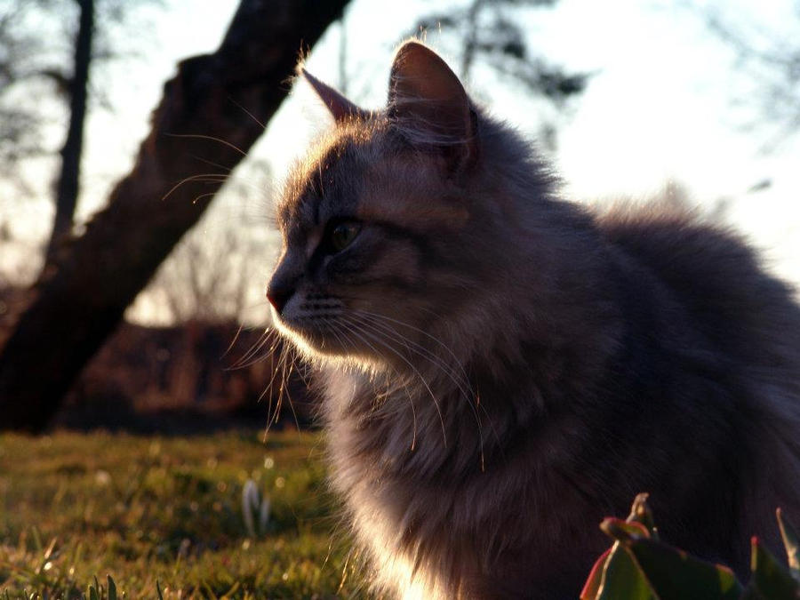 ruminating cat by Roona-MBH