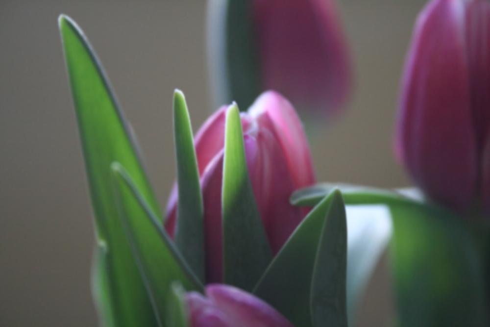 tulipa_by_Lunchable.jpg