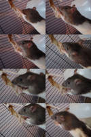Chicken Rat by pandemoniumfire