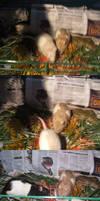 Nectar Rats