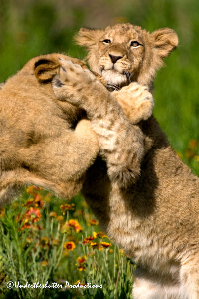 Cubs at play by GKmon-DORU-fanatic